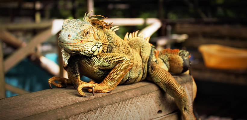 The Guardian Newspaper - Viewing Green Iguanas in a safe habitat out West.