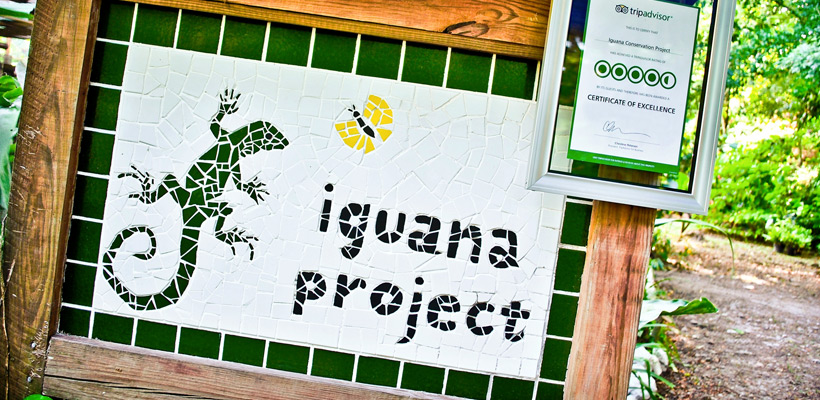 Green Iguana Conservation Project to the Rescue