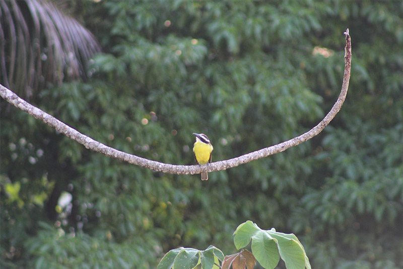 yellow-breasted flycatcher
