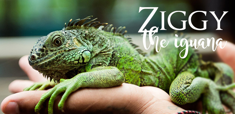 In Loving Memory to an Icon in Conservation & Awareness: Ziggy the Iguana